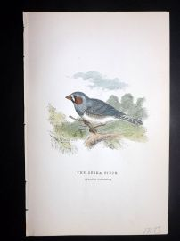 C. W. Gedney 1888 Antique Hand Col Bird Print. Zebra Finch, Australia Native